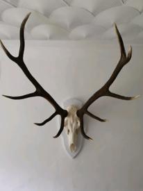 Antler Deer Head Taxidermy