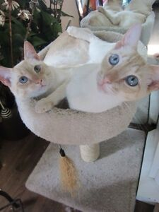 Beautiful Apricot Siamese Need Perfect Homes for Christmas!