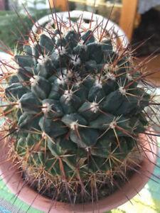 Cactus Mammillaria Marksiana a vendre vraiment pas cher!