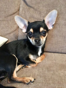 Superbe petite femelle chihuahua vraiment adorable (chiot)