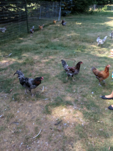 Easter Egger Roosters For Sale