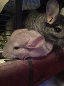Female Baby Chinchilla!