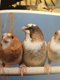 Chocolate Bengalese finches