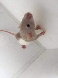 young dumbo eared rats for sale.