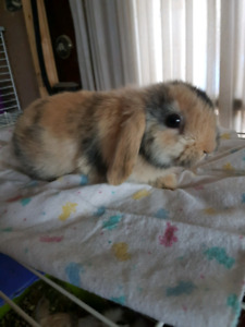 Adorable Harlequin Holland Lop baby bunny rabbit