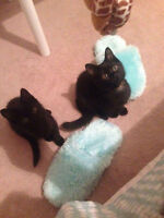 2 black cats for sale 11 weeks old