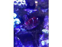 "Maroon Clownfish 3""+ Marine / Saltwater"