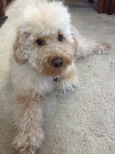 UPDATE Quincy Minature poodle FOUND SAFE