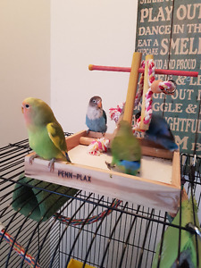 Adorable Lovebirds baby weaned and ready for a new home