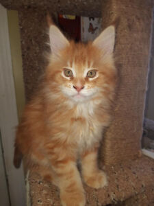*** All  Sold*** Maine Coon Kittens available 2 left