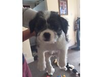 Shin tzu/jack Russell/chihuahua puppies