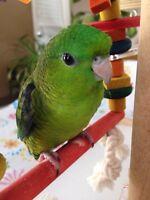 superbes bébés touis catherine verts nourris à la main