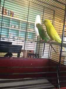 2 Budgies for Sale (6months)