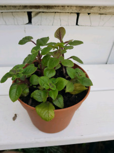 Plectranthus Plant. BEAUTIFUL GREEN FOLIAGE.  LEAVE OUTSIDE FOR