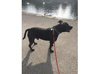 Male 3 year old Staffordshire bull terrier