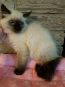 Siberian Forest Cat kittens GIRLS