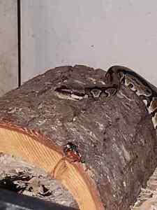 Ball python with tank and stuff