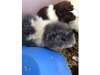 Guinea pig boy