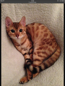 Femelle chat bengal bengale cat