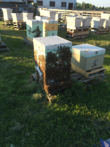 Bee Nucs and Queens for sale