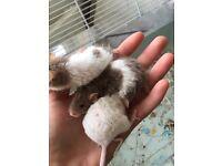 3 female Rex mice and 3 female normal coat