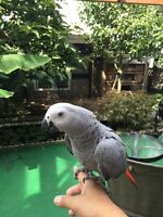 6 months old friendly baby African Grey Congo with cage