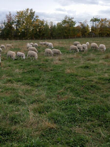 Grass Fed Lamb for Sale