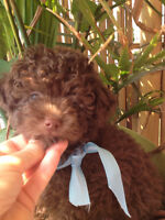 Miniature,toy Poodle...one  browm male available !!