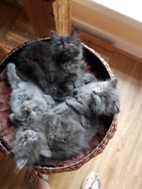 Stunning long haired Ragdoll X kittens (ALL SOLD)