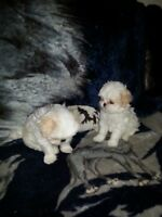 1 male shih tzu pups for sale