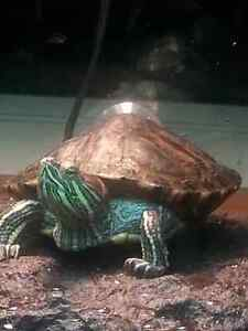 Red Eared Slider Turtle and tank.