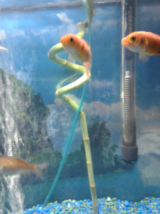 4 free Comet Goldfishes!!
