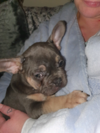 French bulldog lilac and tan boy