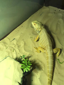two bearded dragon for sale