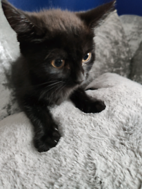 Black shorthair British mix female kitten