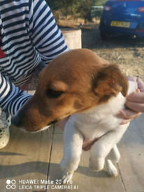 Jack Russell females