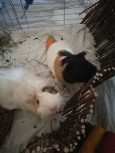 2 Bonded and Healthy Female Guinea Pigs Needing a New Home