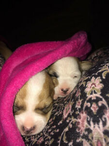 Jack Russell Puppies London Ontario image 10