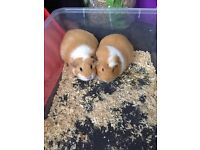 2 female Guinea Pigs for sale..ready to go asap