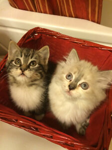 2 adorable female kittens are ready for the new home.