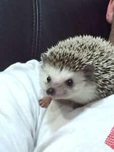 6 month old Hedgehog looking for a loving home