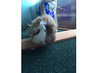 Guinea Pigs, Hutch, Indoor & Outdoor Runs, Food/Bedding Bundle