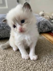 Ragdoll X Persian Kitten (Reserved)