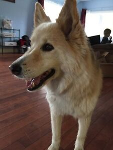 Found dog in Callander