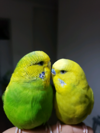 Budgies Tamed Large Cage