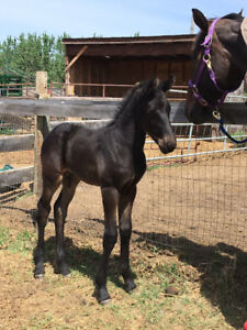 Sweet natured Friesian/Warmblood 2018 colt
