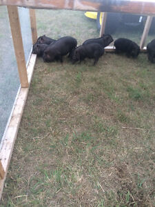 7 potbelly piglets for sale