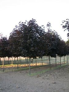 Crimson King Maple Trees