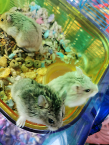 Russian Hamsters for sale (males)