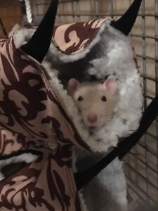 Two affectionate female rats